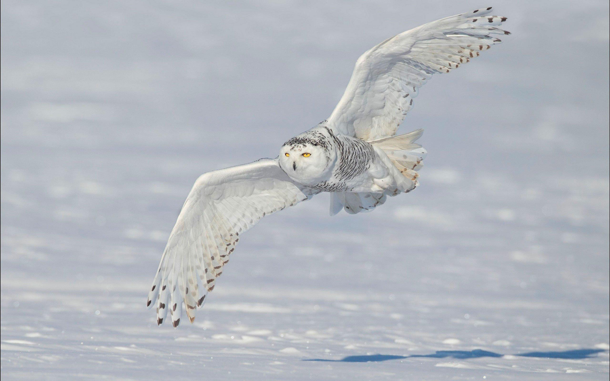 зимняя сова фото