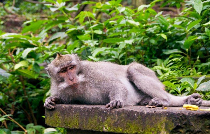 Лес обезьян на острове Бали