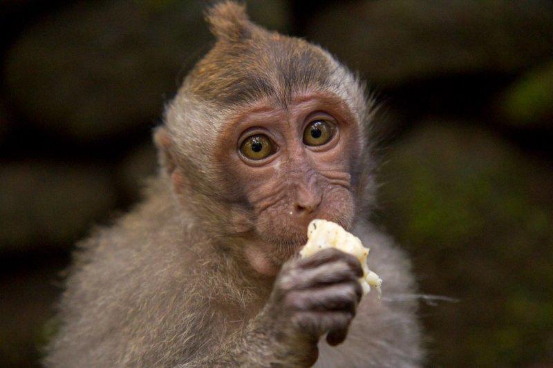 Тайские обезьяны нагло требуют у туристов угощений