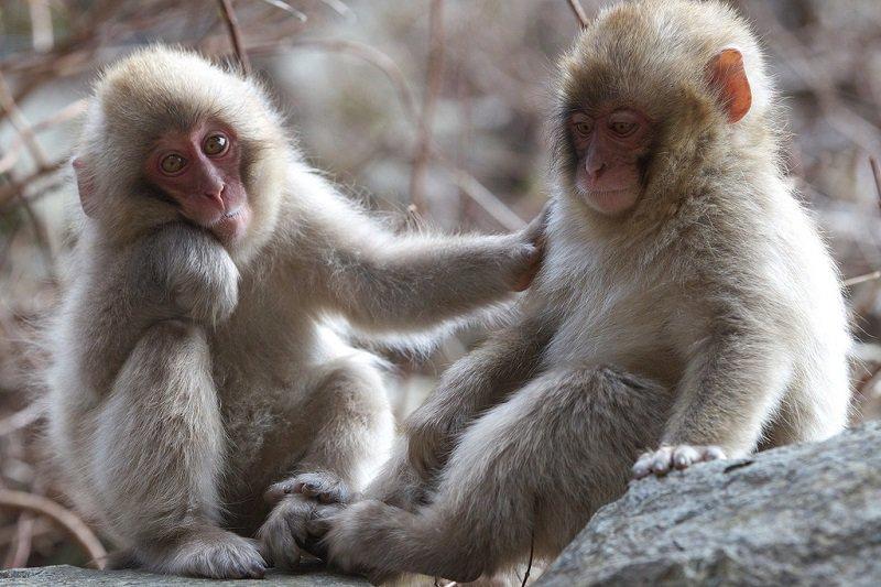 Парк Джигокудани - дом снежных обезьян