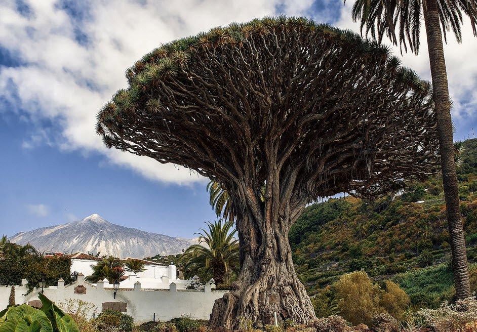 Драконово дерево на острове Тенерифе